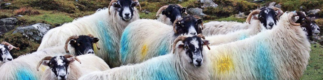 cropped-blackfacesheep_beh_edited-6b2.jpg
