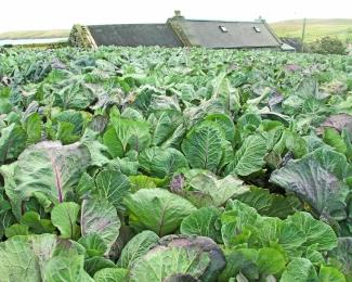 """""""Kaleyard"""", Shetland (foto: Kirsti Jareg)"""
