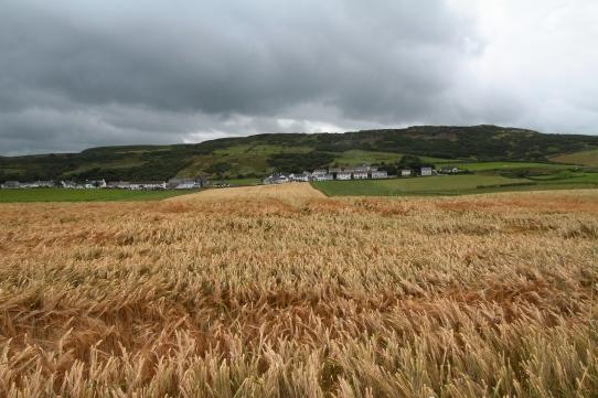 Barley, Antrim