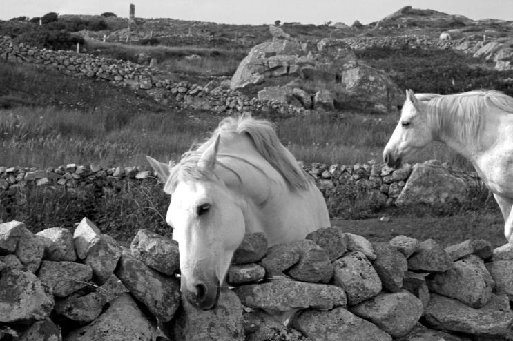 Connemara ponies (Photo: Kirsti MacDonald Jareg)